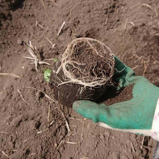 ヤーコンの苗の根